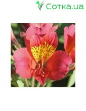 Альстромерия (Alstroemeria)  Majestic Tierce®