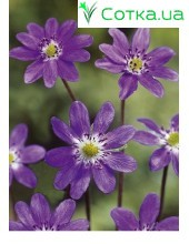 Печеночница (Hepatica) Purple Forest Hybrids®