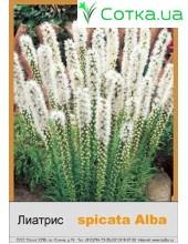 Лиатрис spicata Alba