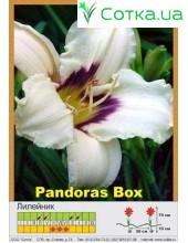 Лилейник  Pandora's Box