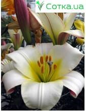 Трубчатая лилия White Planet