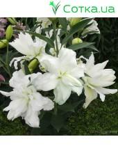 восточный гибрид махровый Lotus Beauty