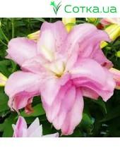 восточный гибрид махровый Lotus Spring