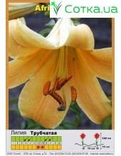 Трубчатая лилия African Queen