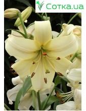 Тетраплоидная лилия Pearl White