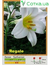 Трубчатая лилия Regale