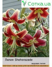 Видовая лилияSheherazade