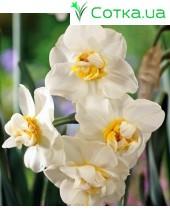 Нарцис многоцветковый Cheerfulness