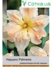 Нарцис разнекорончатий Palmares