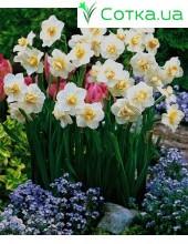 Нарцисс Многоцветковый Cheerfulness