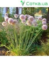 Лук декоративный (Allium) Pink Planet