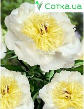 Пион (Paeonia) Gertrude Allen