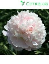 Пион (Paeonia) Albert Crousse