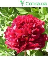 Пион (Paeonia) Big Red Boomer Sooner