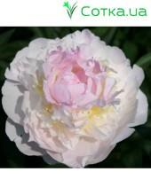 Пион (Paeonia) Blush Queen