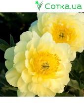Пион (Paeonia) Itoh Yellow Doodle Dandy