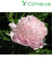 Пион (Paeonia) Sweet 16