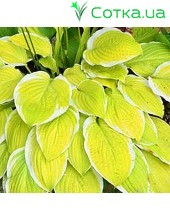 Хоста (Hosta)	American Dream