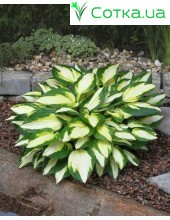 Хоста (Hosta)	Color Festival®