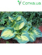 Хоста (Hosta)	Dream Weaver
