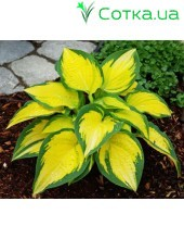 Хоста (Hosta) Orange Marmelade