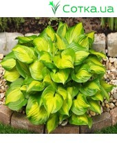 Хоста (Hosta)	Lakeside Banana Bay