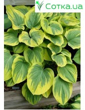Хоста (Hosta) Magic Fire®