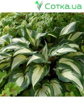 Хоста (Hosta)	Raspberry Sundae®