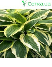 Хоста (Hosta)	Yellow Splash Rim