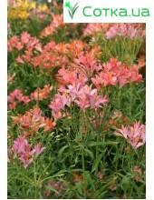 Альстремерия (Alstroemeria) Ligtu-hybrids