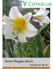 Трубчастая лилия Regale Album