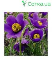 Прострел (Pulsatilla)Violet Bells