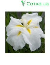 Ирис (Iris ens).	White Lady