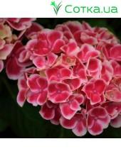 Гортензия крупнолистная Tivoli pink (Тиволи)