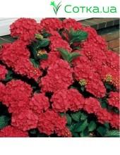 Гортензия крупнолистная Red Beauty 2 года