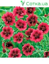 Лапчатка (Potentilla)	Monarch's Velvet