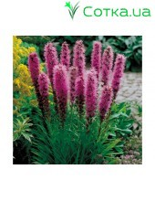 Лиатрис (Liatris)	spicata Kobold (from seeds)