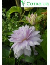 Клематис (Clematis) Belle of Woking