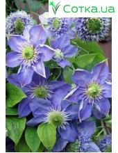 Клематис (Clematis) Blue Light®