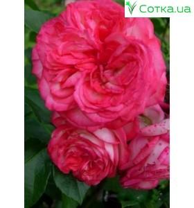 Роза Antik