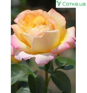 Роза Gloria