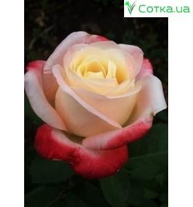 Роза Belle Perle
