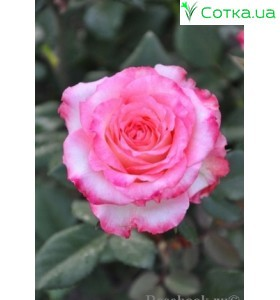 Роза Duett