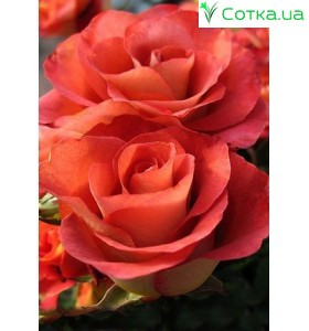 Роза Goldstern Perl
