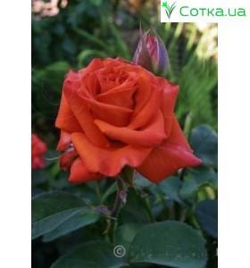 Роза Naranga