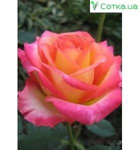 Роза Utopia