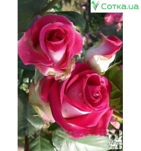 Роза Utro Parisa