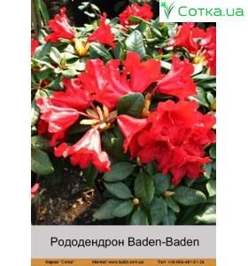 Рододендрон Baden-Baden