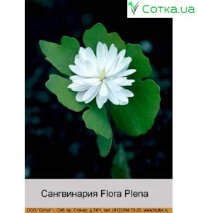 Сангвинария canadensis Flora Plena